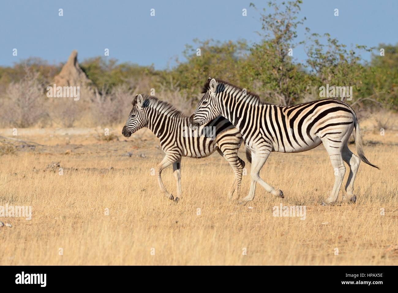 Cebras de Burchell (Equus quagga burchellii), adultos y potro al trote, el Parque Nacional de Etosha, Namibia, África Imagen De Stock