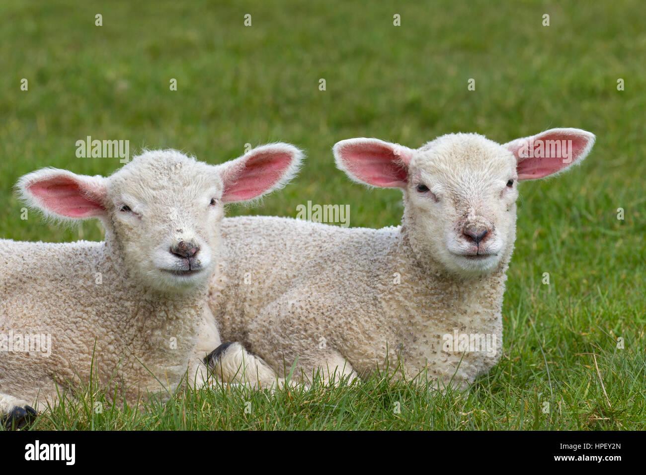 Dos corderos blancos de ovejas domésticas acostado de lado a lado en la pradera Foto de stock