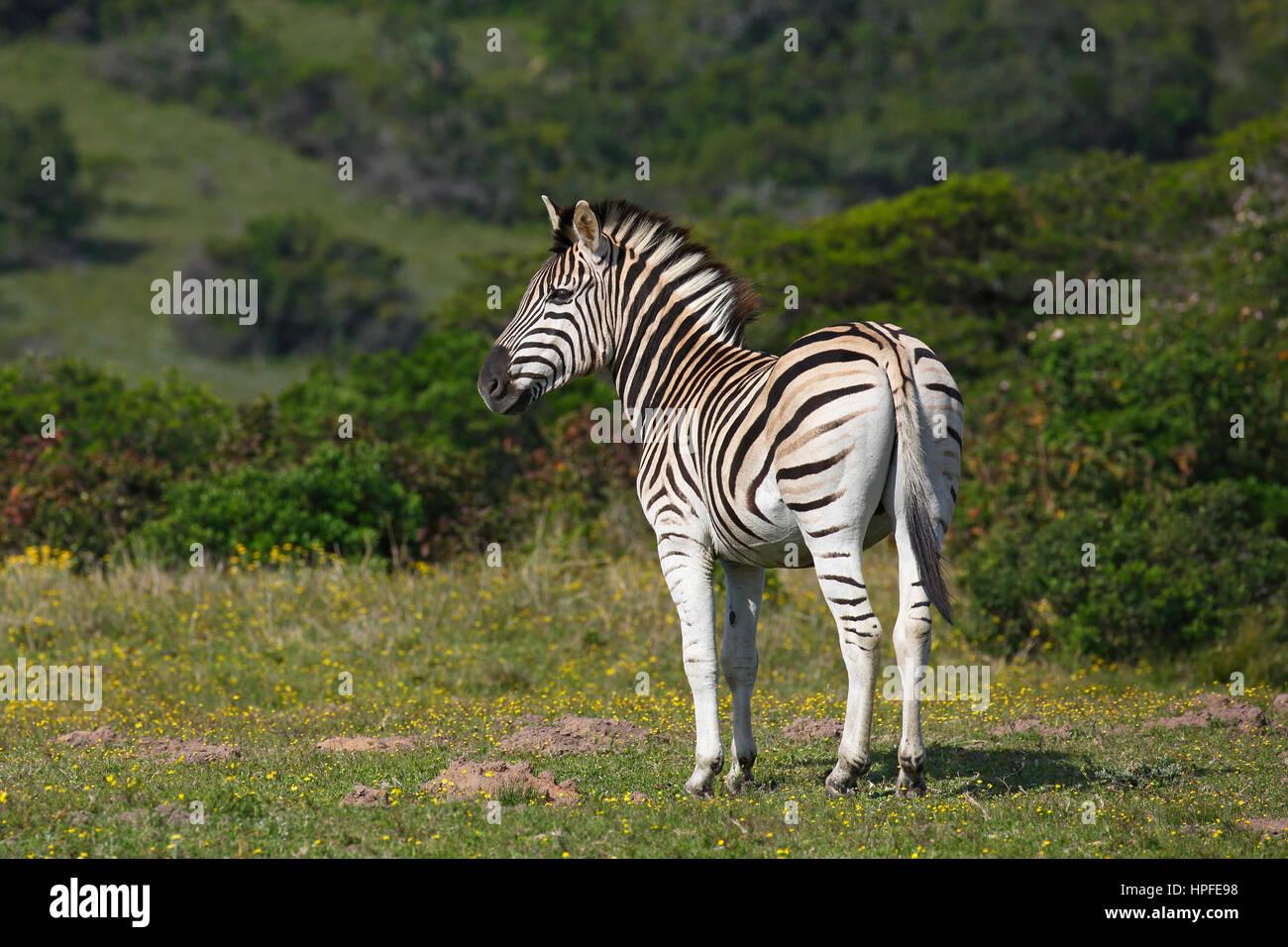 Cebra (Equus quagga burchelli) Burchell Zebra, Parque Nacional de Elefantes Addo, Sudáfrica Imagen De Stock