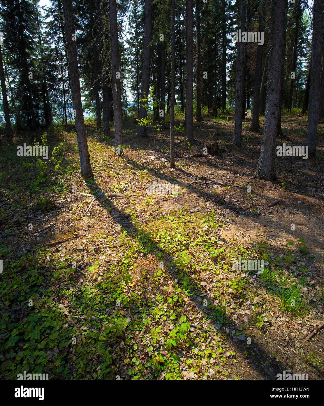 El piso del bosque como el sol está saliendo en Canadá Imagen De Stock
