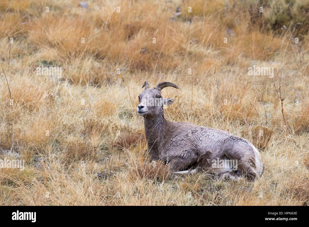La hora de la siesta para el borrego cimarrón ewe, tiempo de rumia en hierba Imagen De Stock