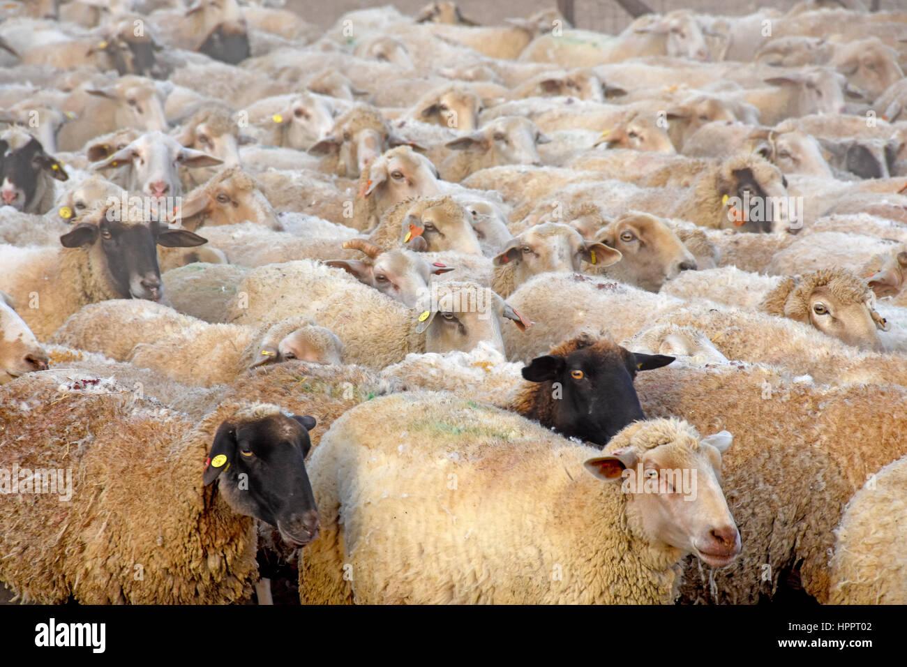 Rebaño de ovejas en cerrar Foto de stock