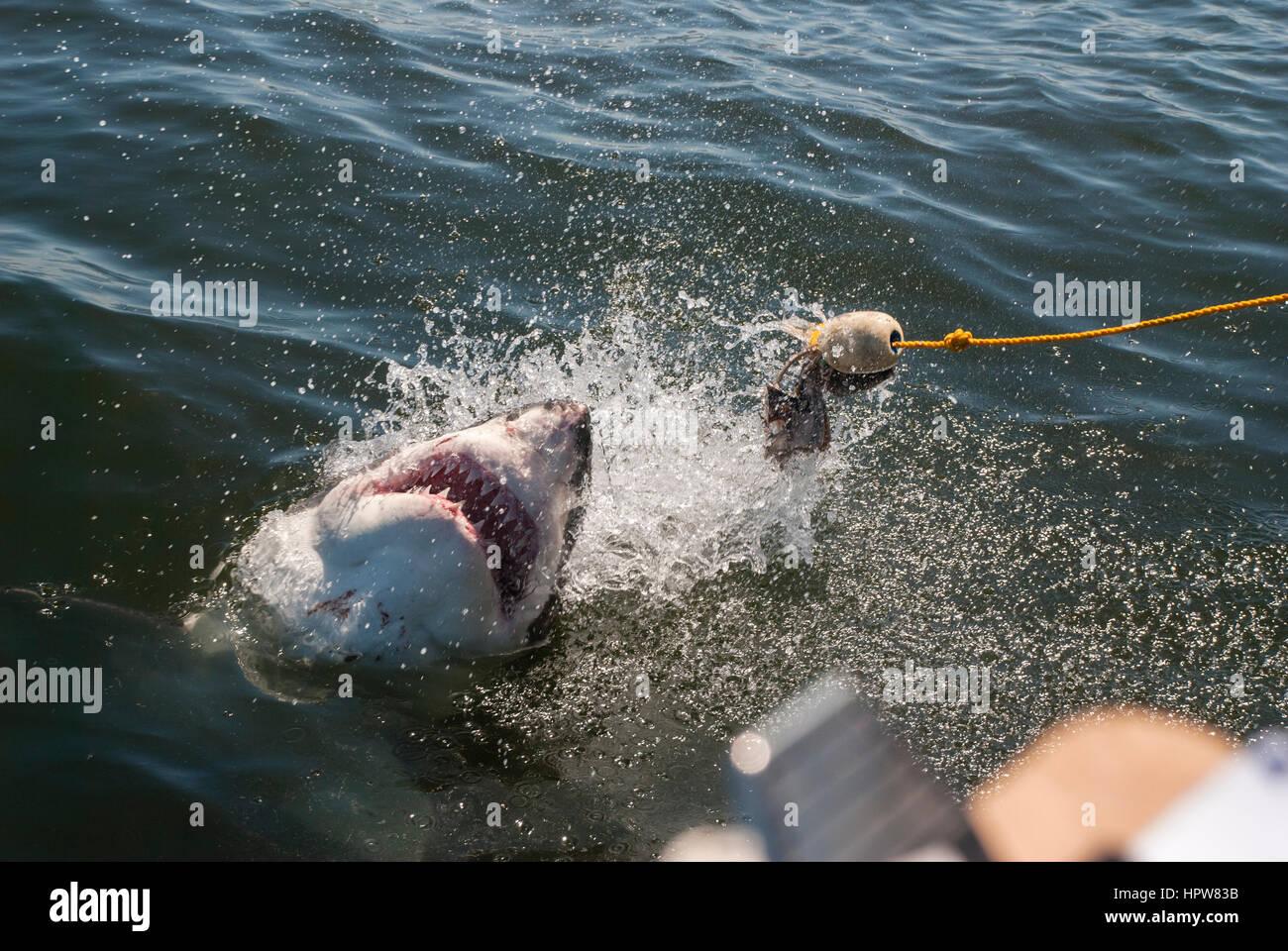 White Shark Gills Imágenes De Stock & White Shark Gills Fotos De ...