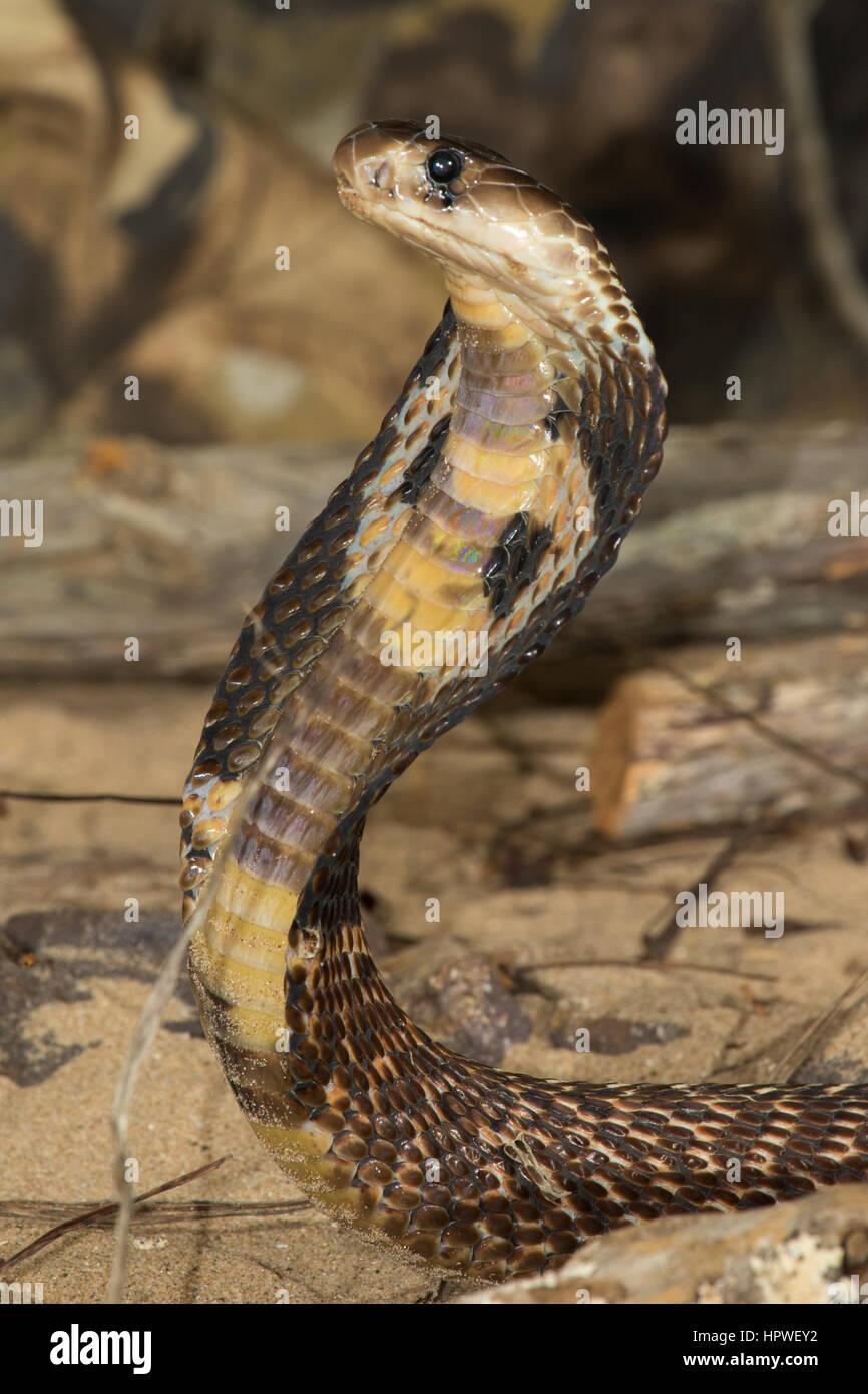 La Cobra india / Oso cobra (Naja naja) Foto de stock