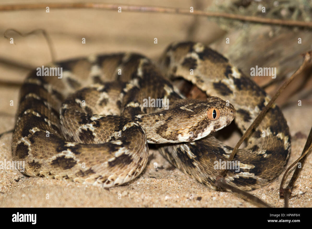 Vio indio-scaled Viper (Echis carinatus) Imagen De Stock