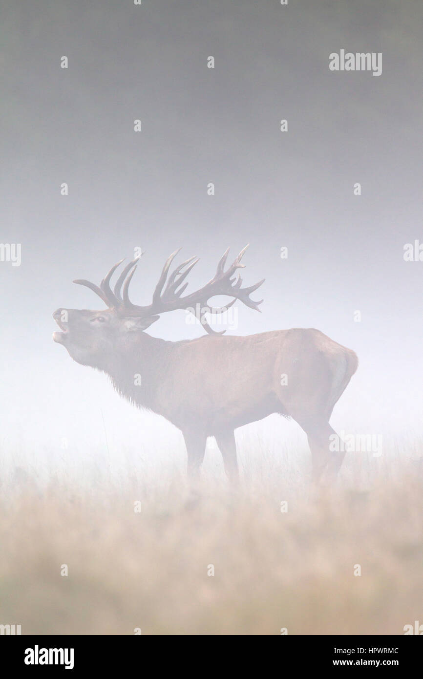 Ciervo rojo (Cervus elaphus) stag mugidos en pastizales en una espesa niebla durante la rutina en otoño Foto de stock