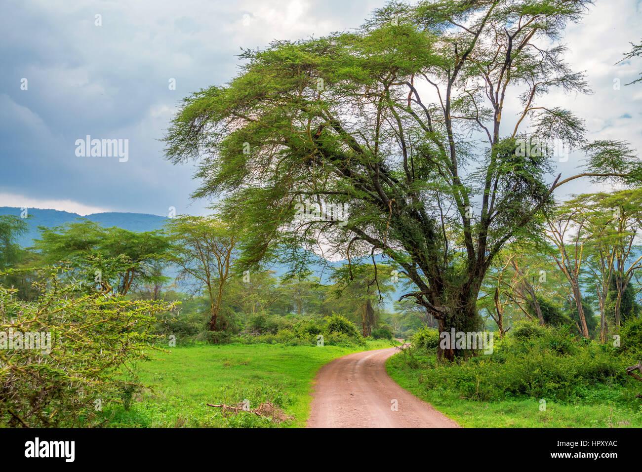 Montaña bosque africano con acacia y exuberantes arbustos en el Parque nacional Ngorongoro, Tanzania Imagen De Stock