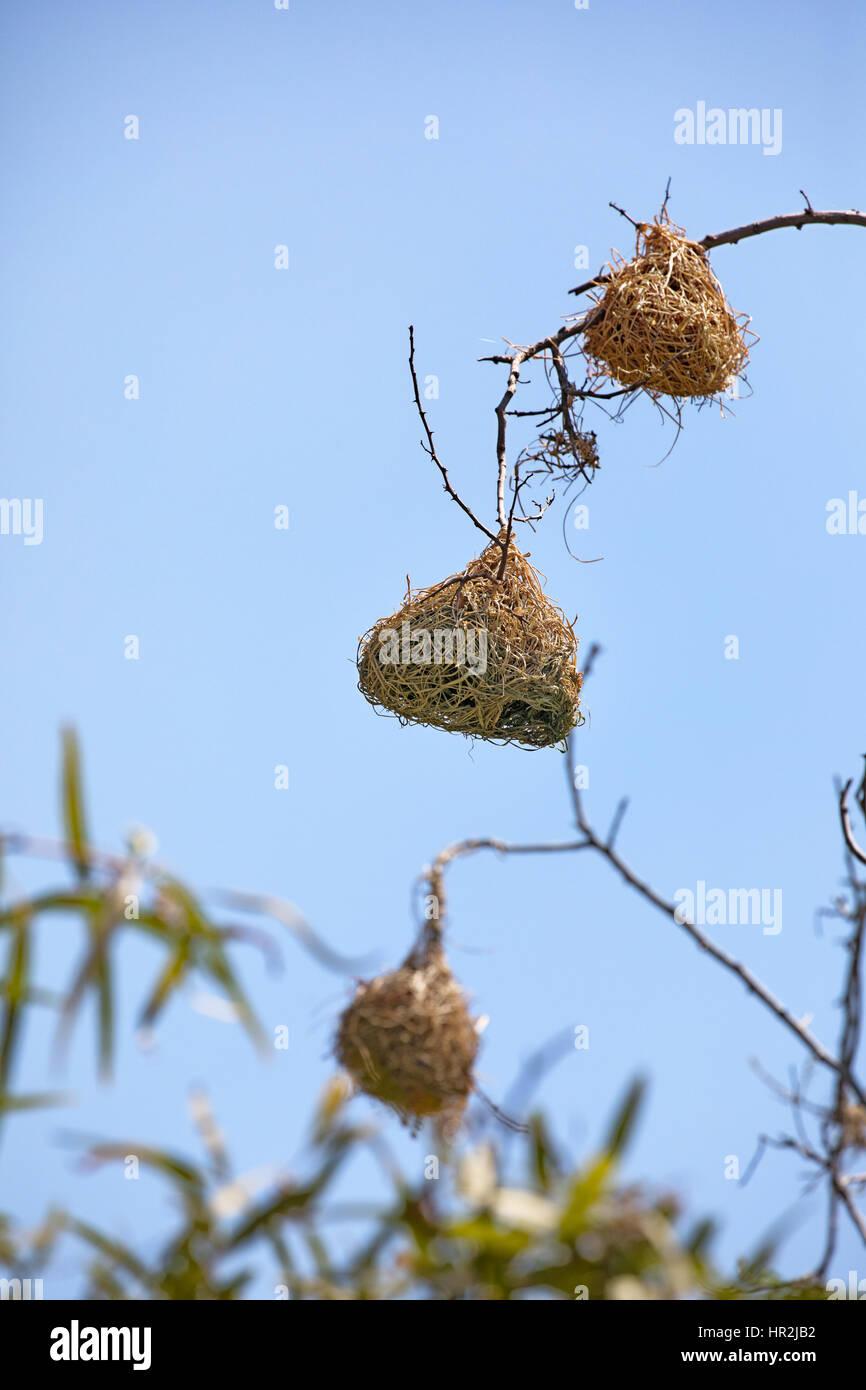 Los Nidos De Aves Tejedor En La Región Kruger De Sudáfrica