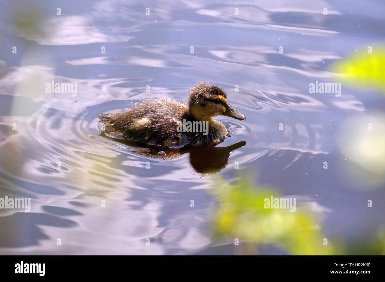 Los patos y los patitos nadando en Glencoe Lochan Imagen De Stock