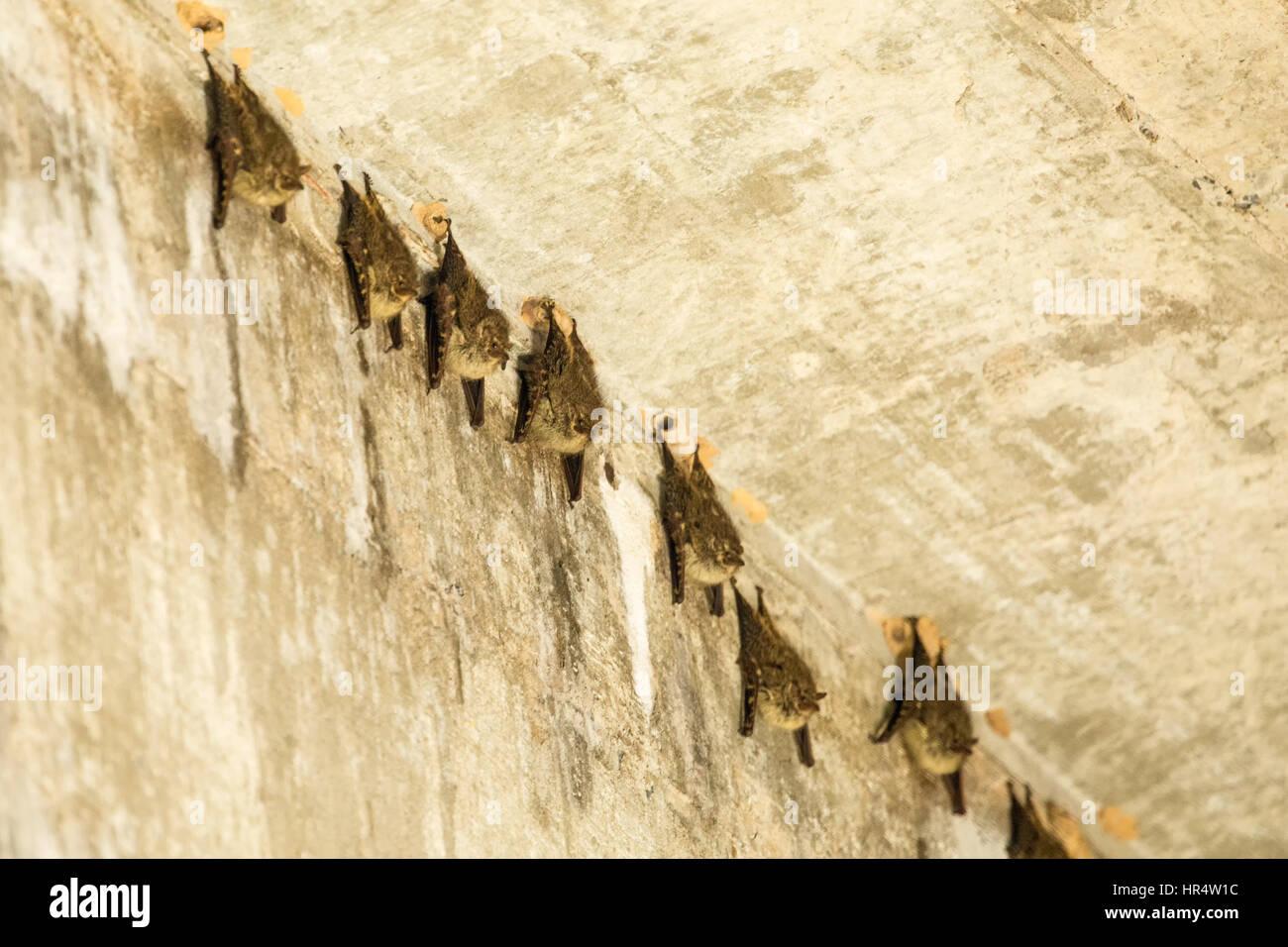 Menor de hocico largo grupo de murciélagos descansando durante el día debajo de un puente en la región del Pantanal de Brasil, en América del Sur. Menor de hocico largo murciélagos roost d Foto de stock