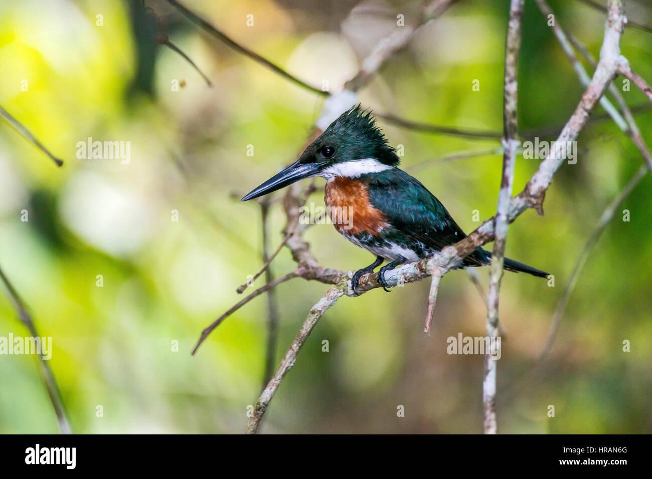 Kingfisher verde hembra (Chloroceryle americana), fotografiado en Sooretama/Linhares, Espírito Santo, sudeste Imagen De Stock