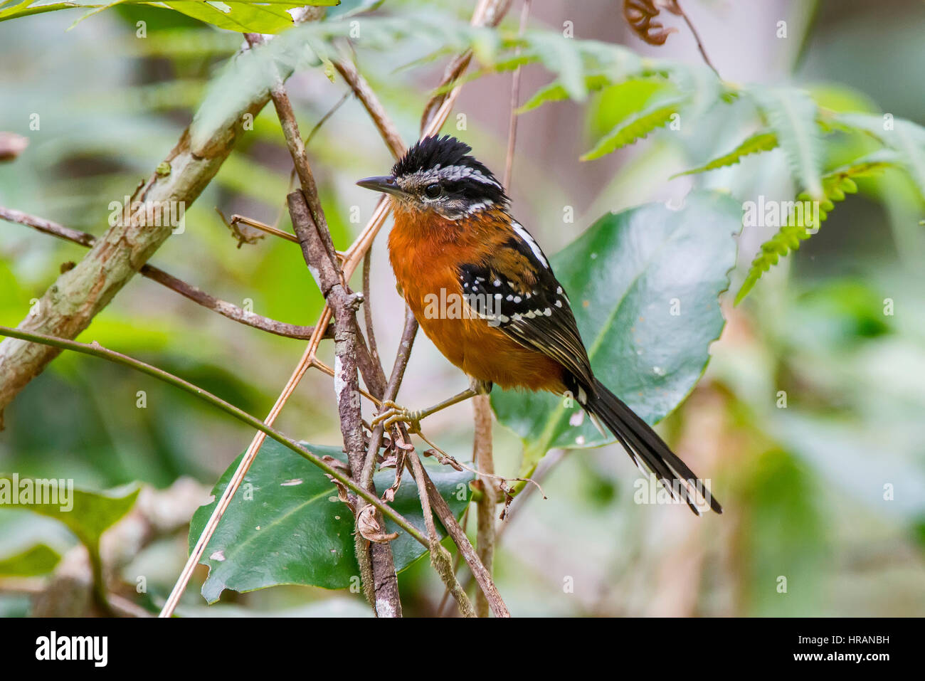 Ferruginosa antbird (Drymophila ferruginea), fotografiado en Afonso Cláudio, Espírito Santo, sudeste de Imagen De Stock