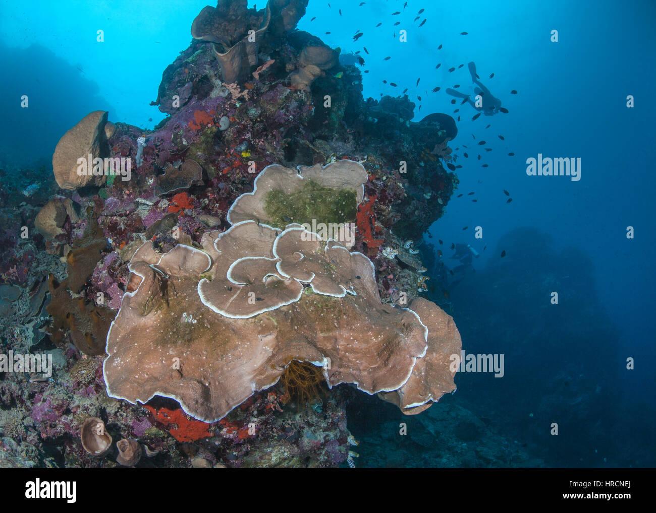 Close-Centrar vista gran angular de la placa coral Pachyseris speciosa sobre un arrecife de coral, muestra signos de deterioro de la salud. La isla de Bunaken, Indonesia. Foto de stock