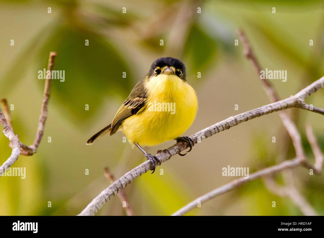 """Común (Todirostrum Tody-Flycatcher cinereum), fotografiados en el """"Cupido e Refúgio Farm"""" en Imagen De Stock"""