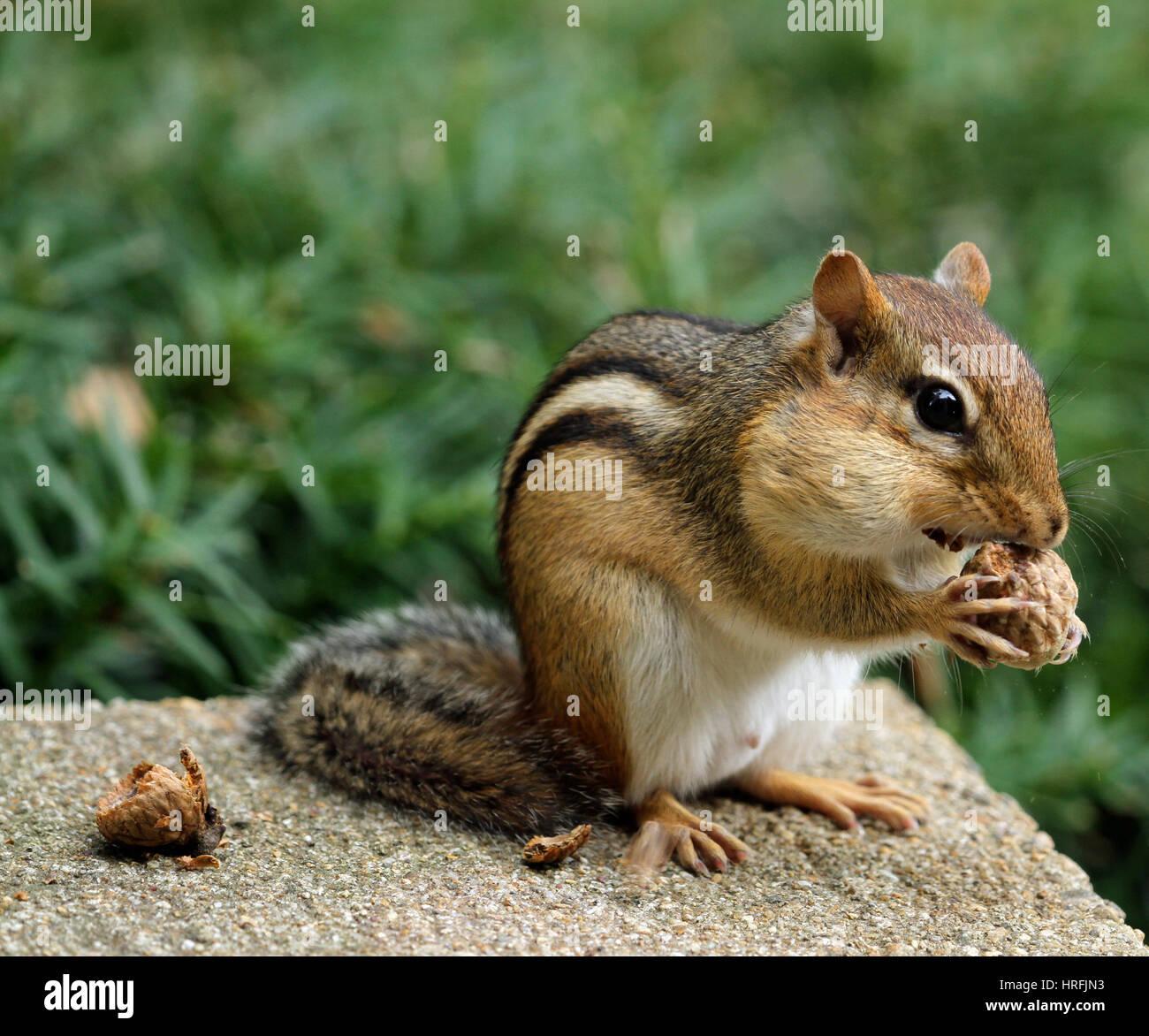 Close-up de una oriental chipmunk (tamias striatus) con las abultadas mejillas comiendo una bellota Foto de stock