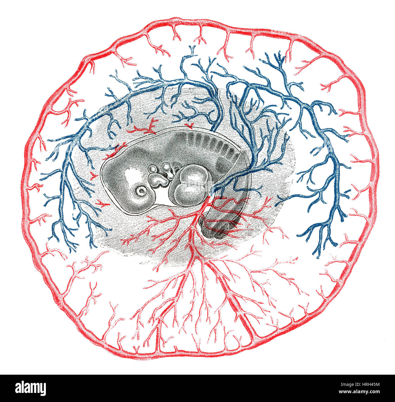 Sistema Circulatorio Sistema Conejo 11 Dias Fotografia De Stock Alamy