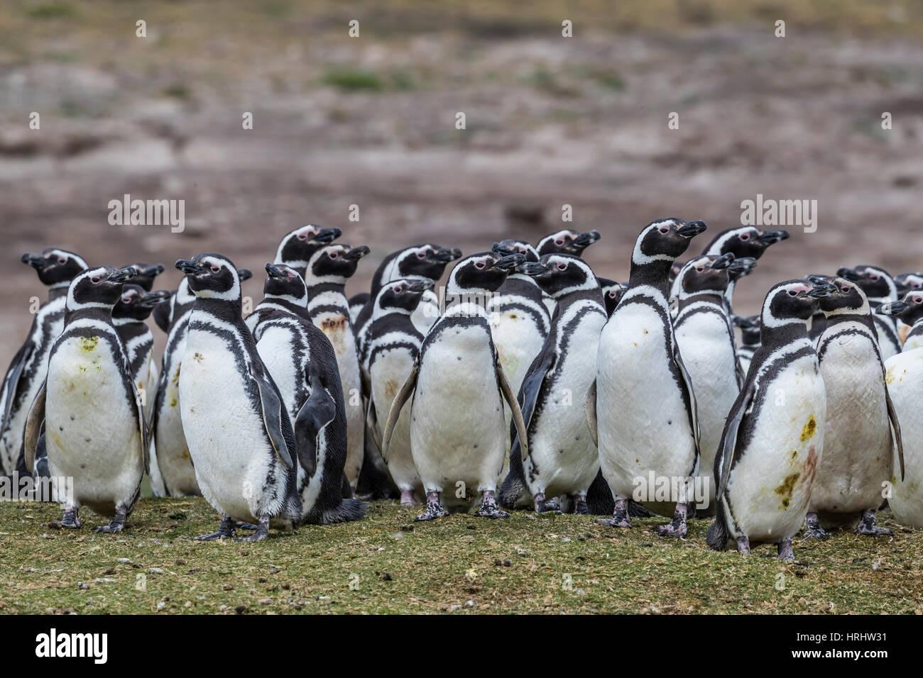 Pingüino de Magallanes (Spheniscus magellanicus) colonia reproductora en la isla de despojos, Islas Malvinas Foto de stock