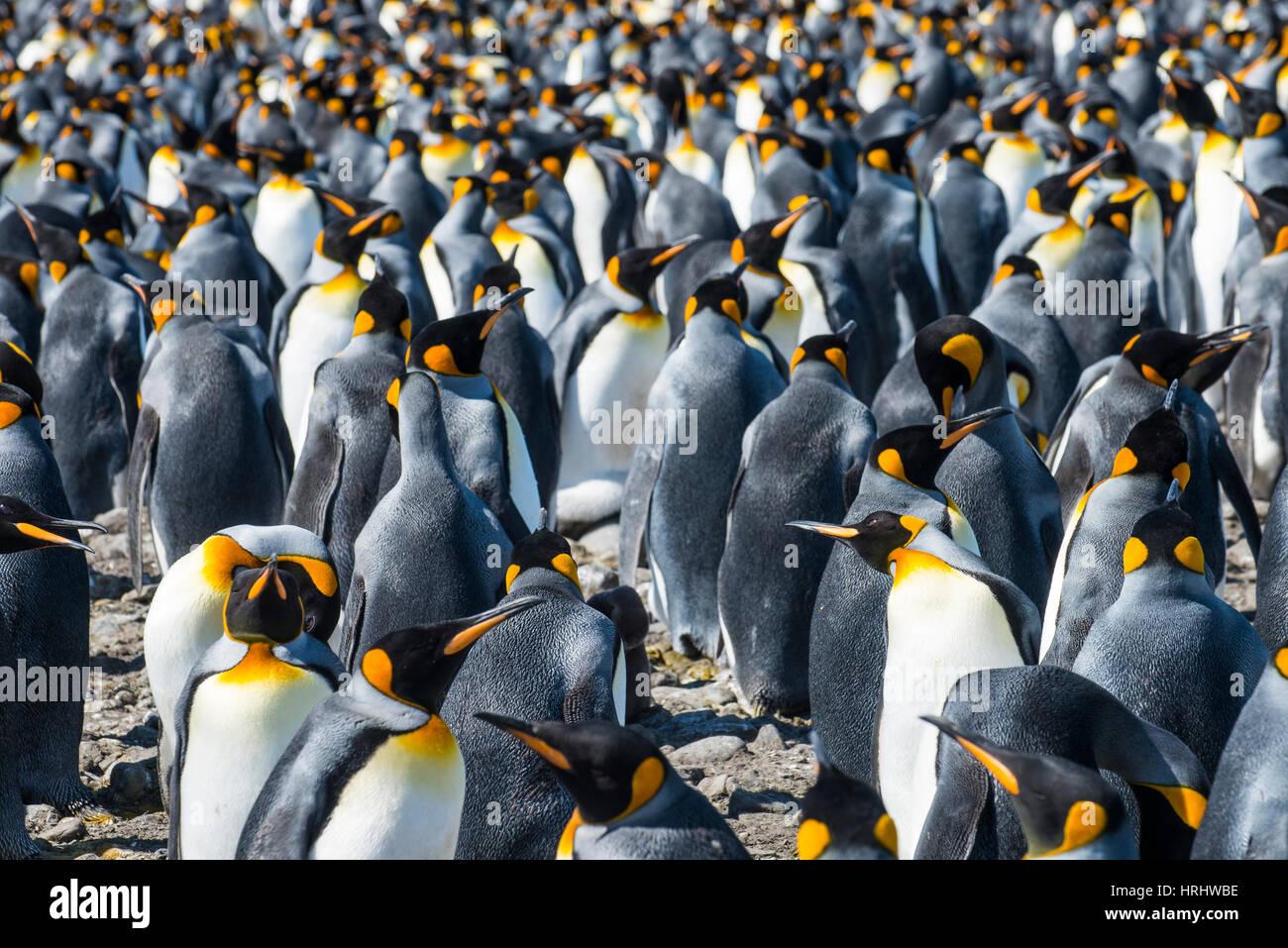 Giant pingüinos rey (Aptenodytes patagonicus) colonia, la llanura de Salisbury, Georgia del Sur, en la Antártida, las regiones polares Foto de stock