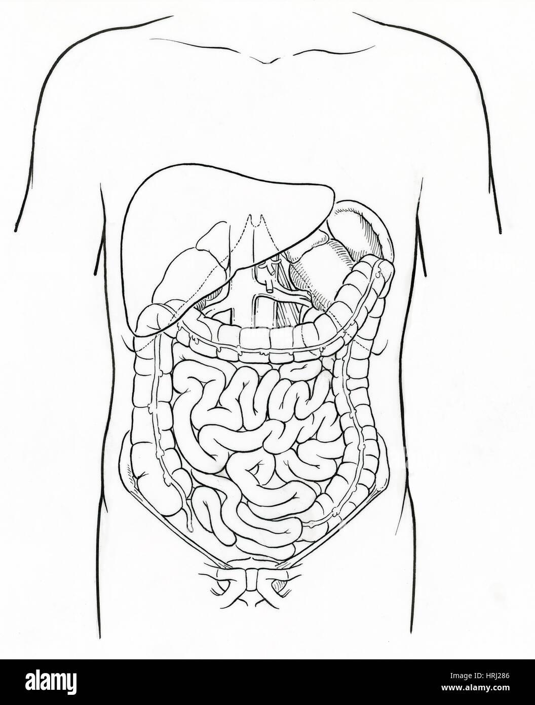Ilustración de abdomen. Imagen De Stock