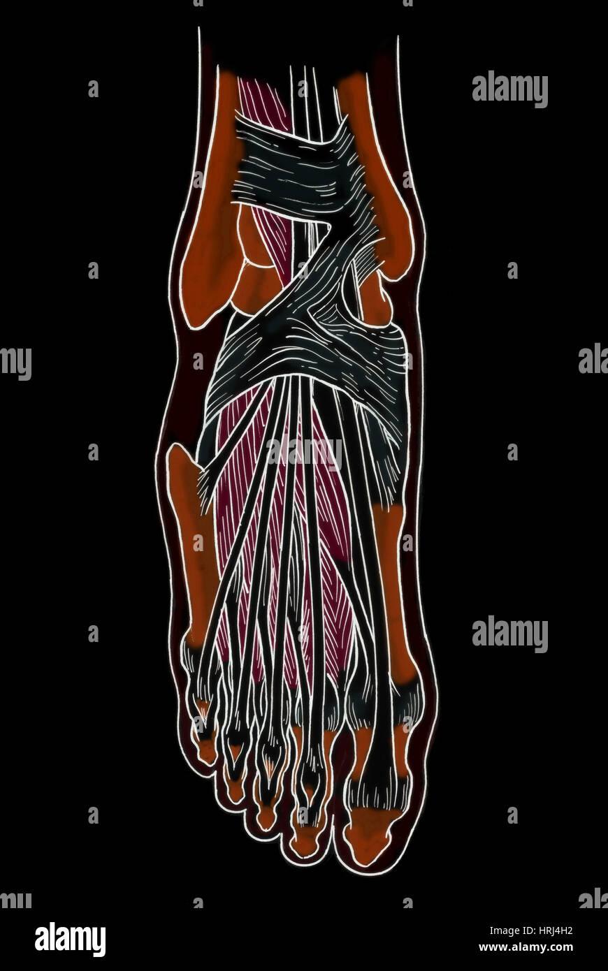 Dorable Diagrama De Pie Anatomía Imágenes - Anatomía de Las ...
