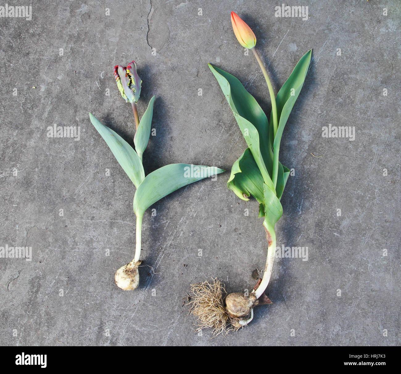 Tulipanes Foto de stock