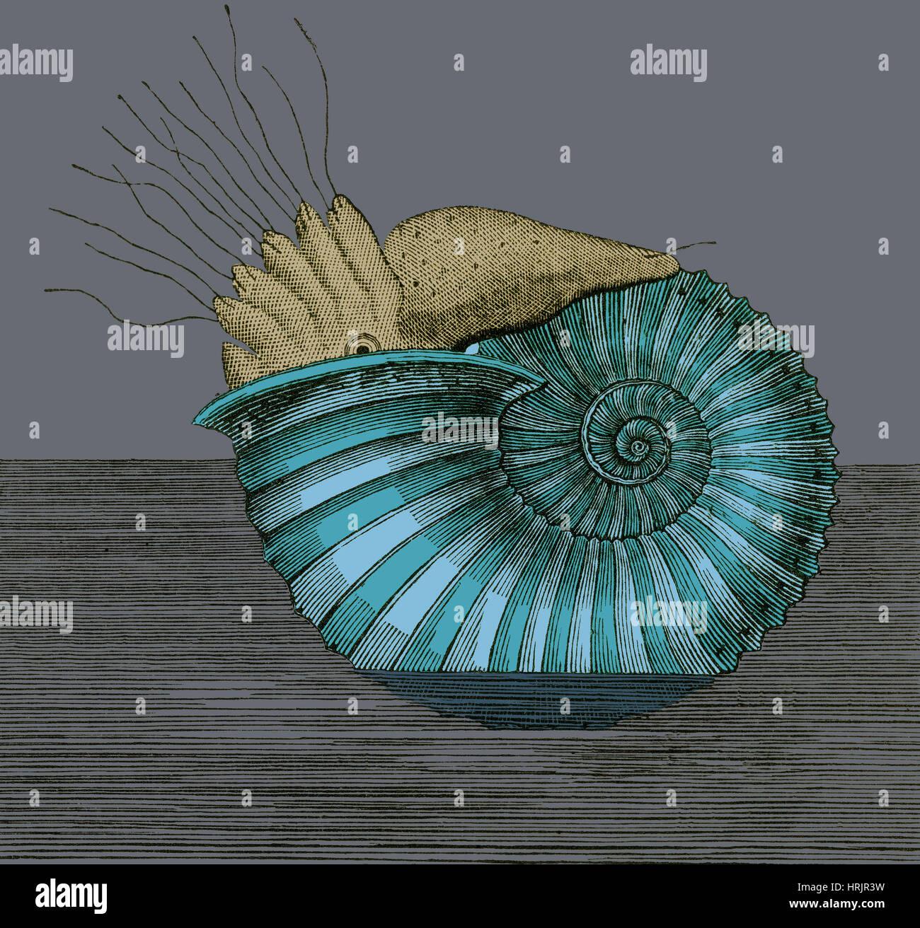 Ammonites del Jurásico, ilustración Imagen De Stock