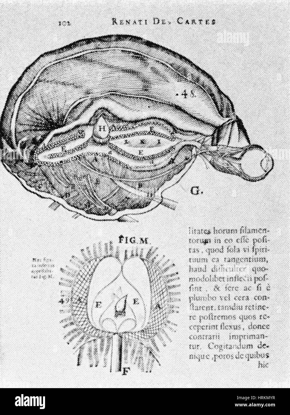 Cerebro y la Glándula Pineal Foto & Imagen De Stock: 135043211 - Alamy