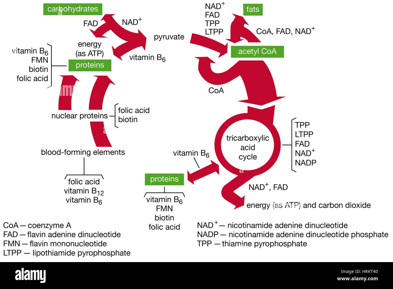 Funciones de la vitamina B coenzimas en el metabolismo. Imagen De Stock
