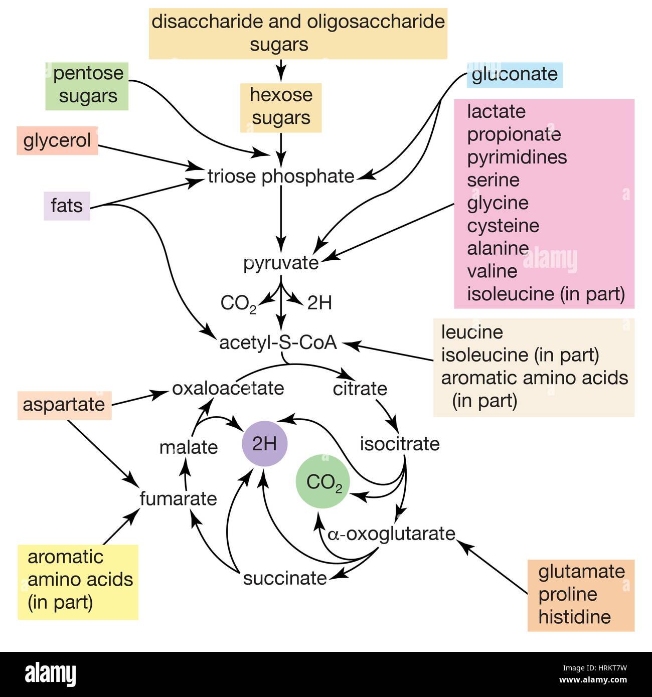Disacárido, metabolismo de Escherichia coli. Vías para el catabolismo de los nutrientes por Escherichia coli. Foto de stock