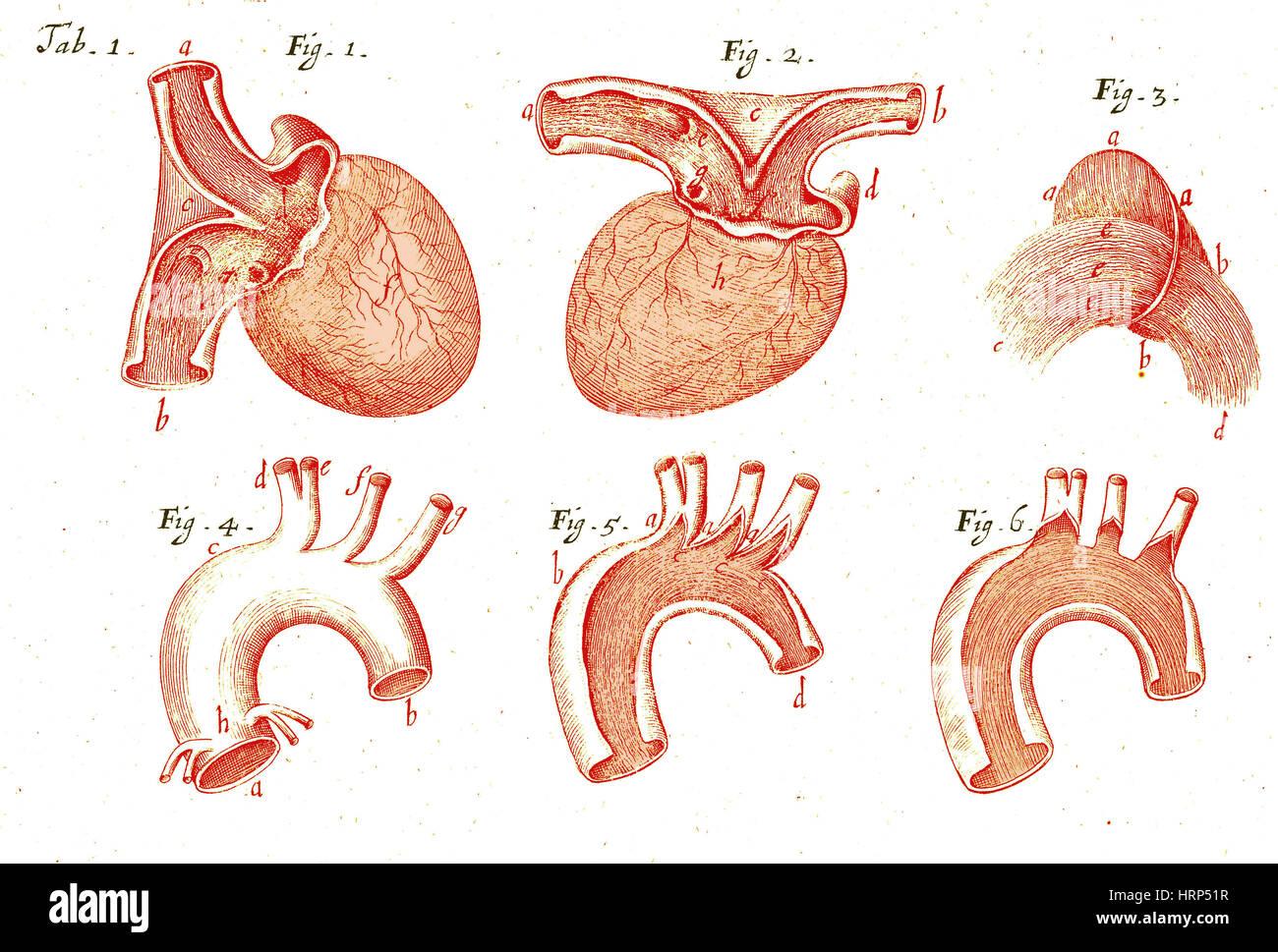 El corazón y la aorta, Ilustración anatómica, 1669 Foto & Imagen De ...
