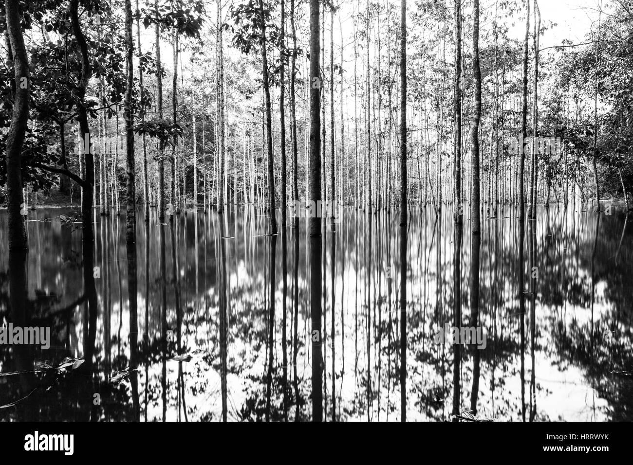 Los troncos del árbol misterioso reflejado en el agua en las junglas tropicales de Angkor Wat, en Camboya. Imagen De Stock