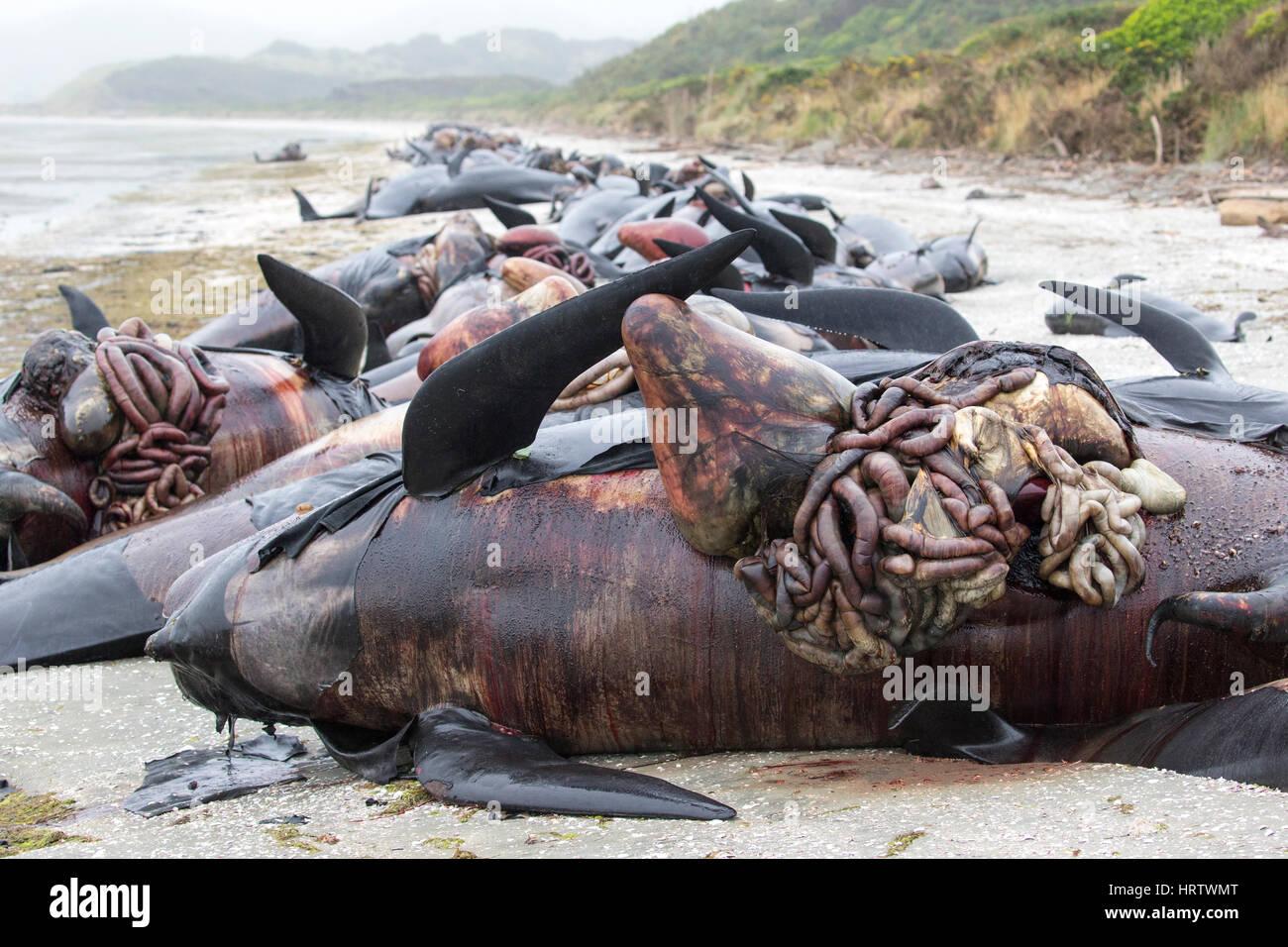 200 Ballenas Piloto De Aleta Larga Muertos Varados En La Playa Farewell Spit Isla Del Sur Nueva ZelandaDespus Muerte Presin Se Acumula Y