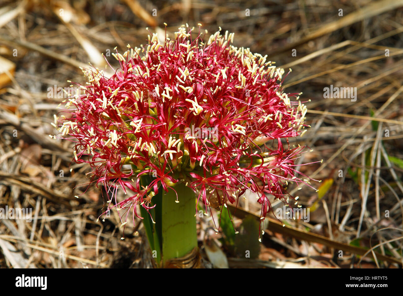Flor de sangre (Lilly Haemanthus sanguineus), Parque Nacional de Liuwa liso, Zambia Foto de stock