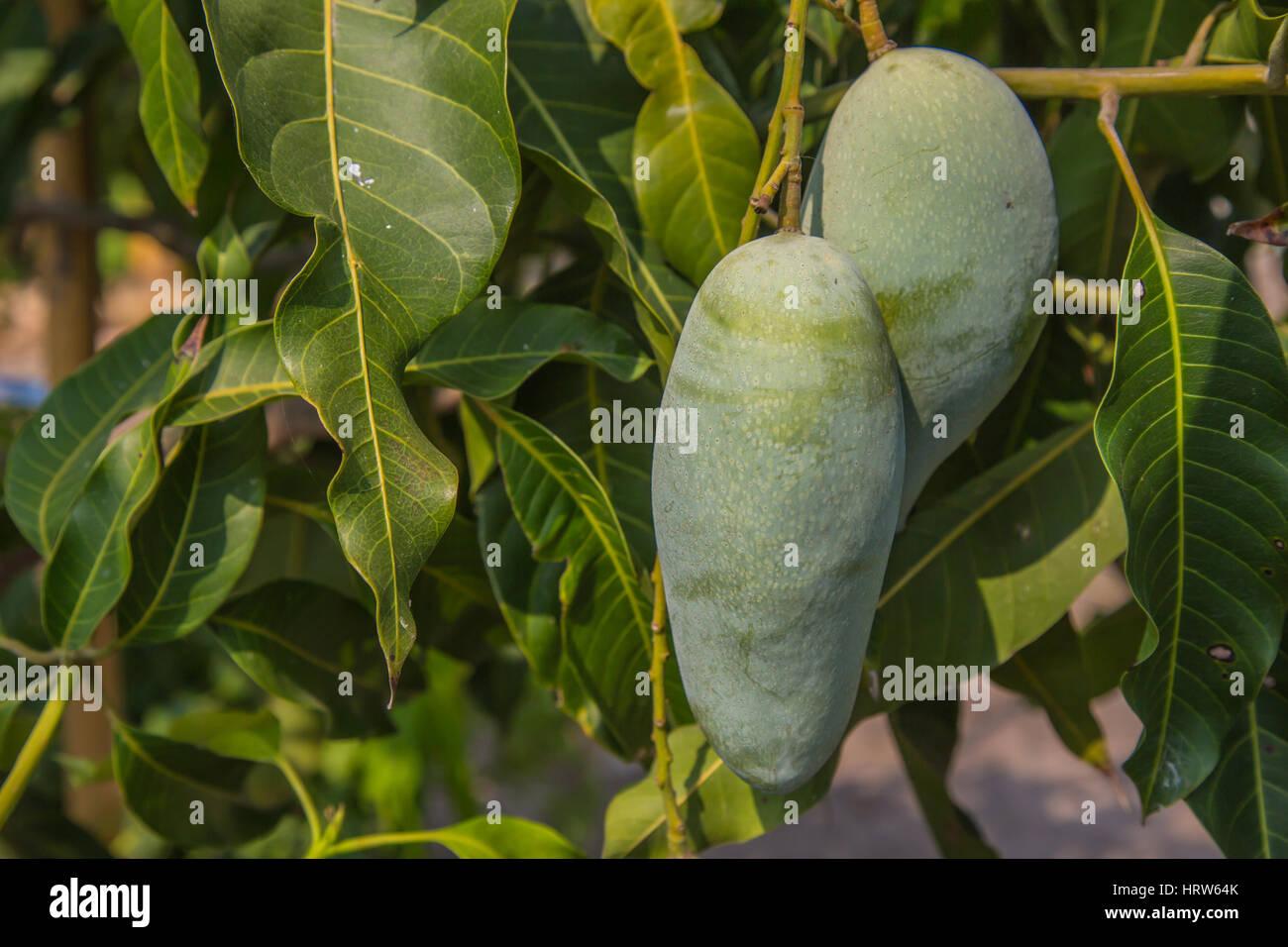 Cerca de mango verde en el árbol. Foto de stock