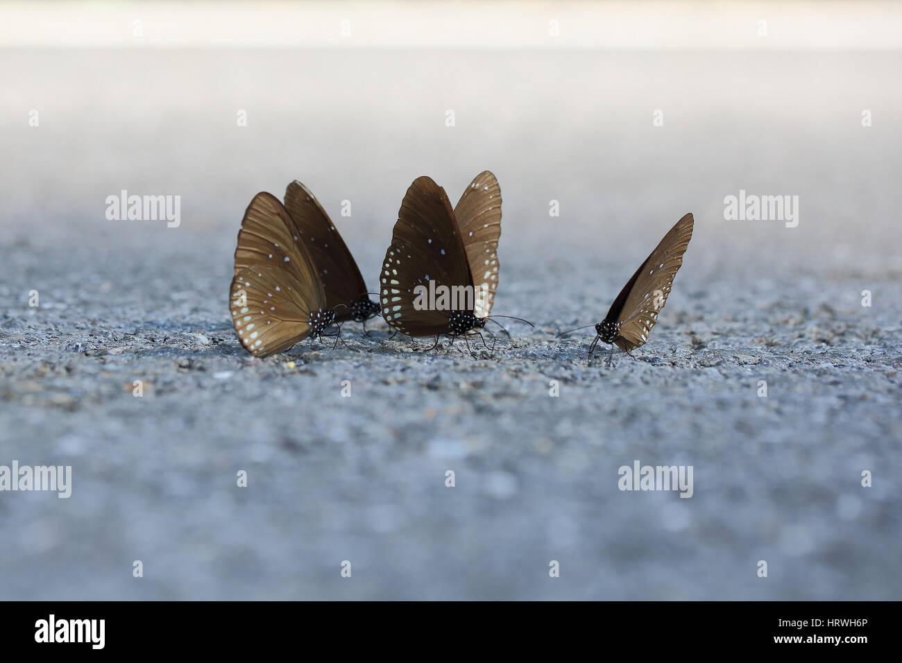 El enfoque selectivo de mariposa oscura en el camino. Foto de stock