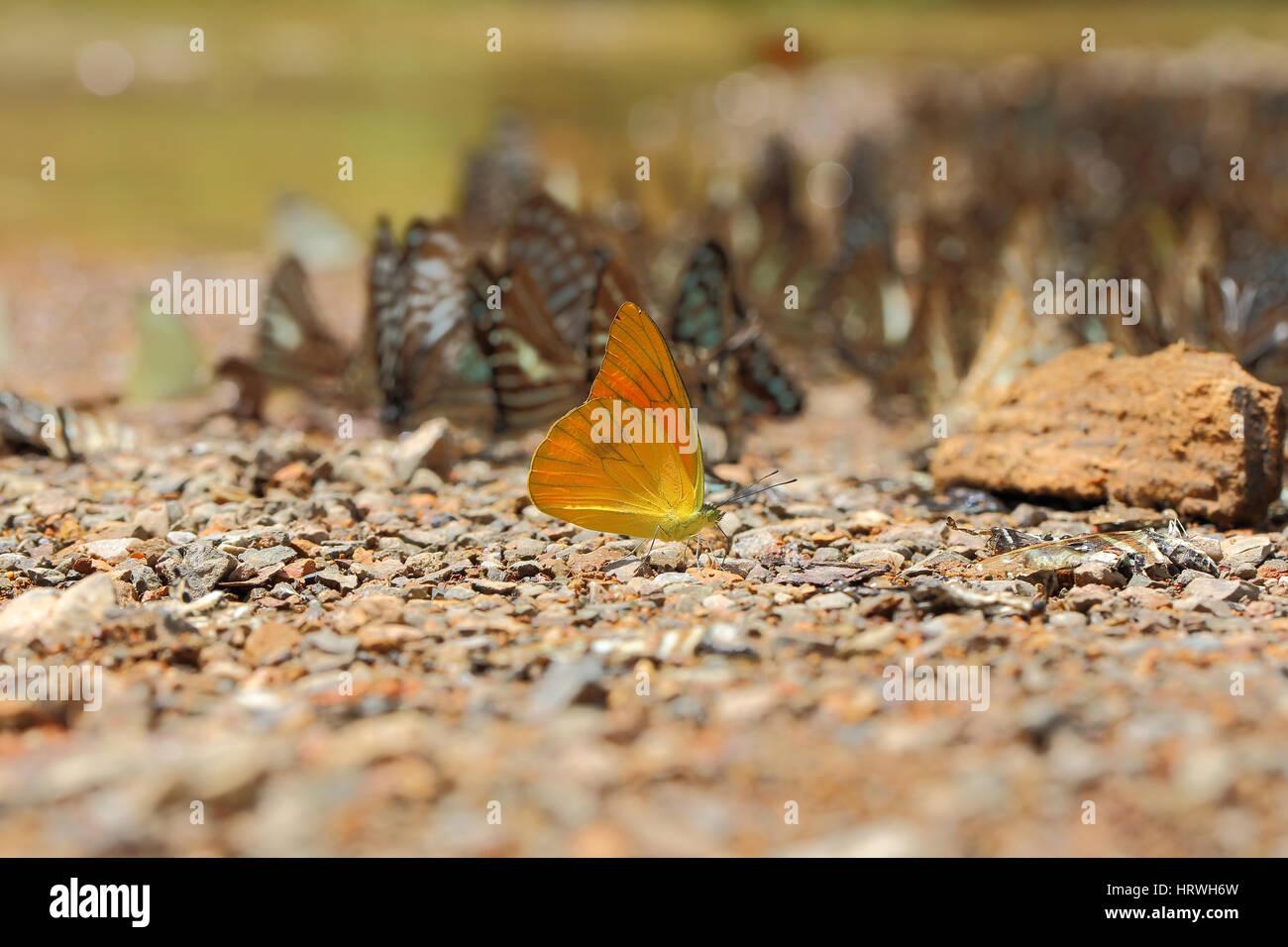 El enfoque selectivo de batterflys amarillo sobre fondo de naturaleza abstracta borrosa. Foto de stock