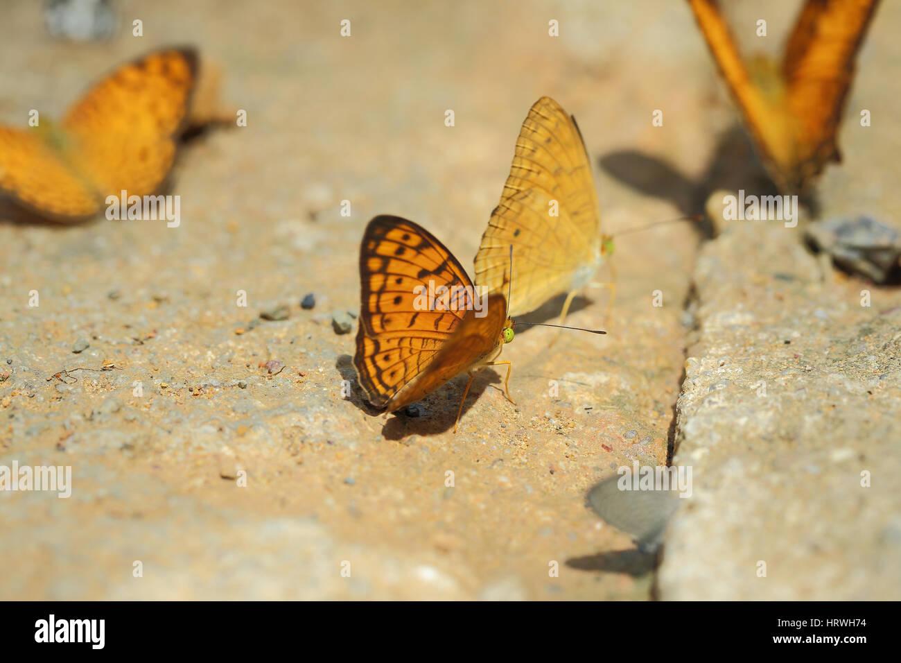 El enfoque selectivo de batterfly amarillo sobre fondo de naturaleza abstracta borrosa. Foto de stock