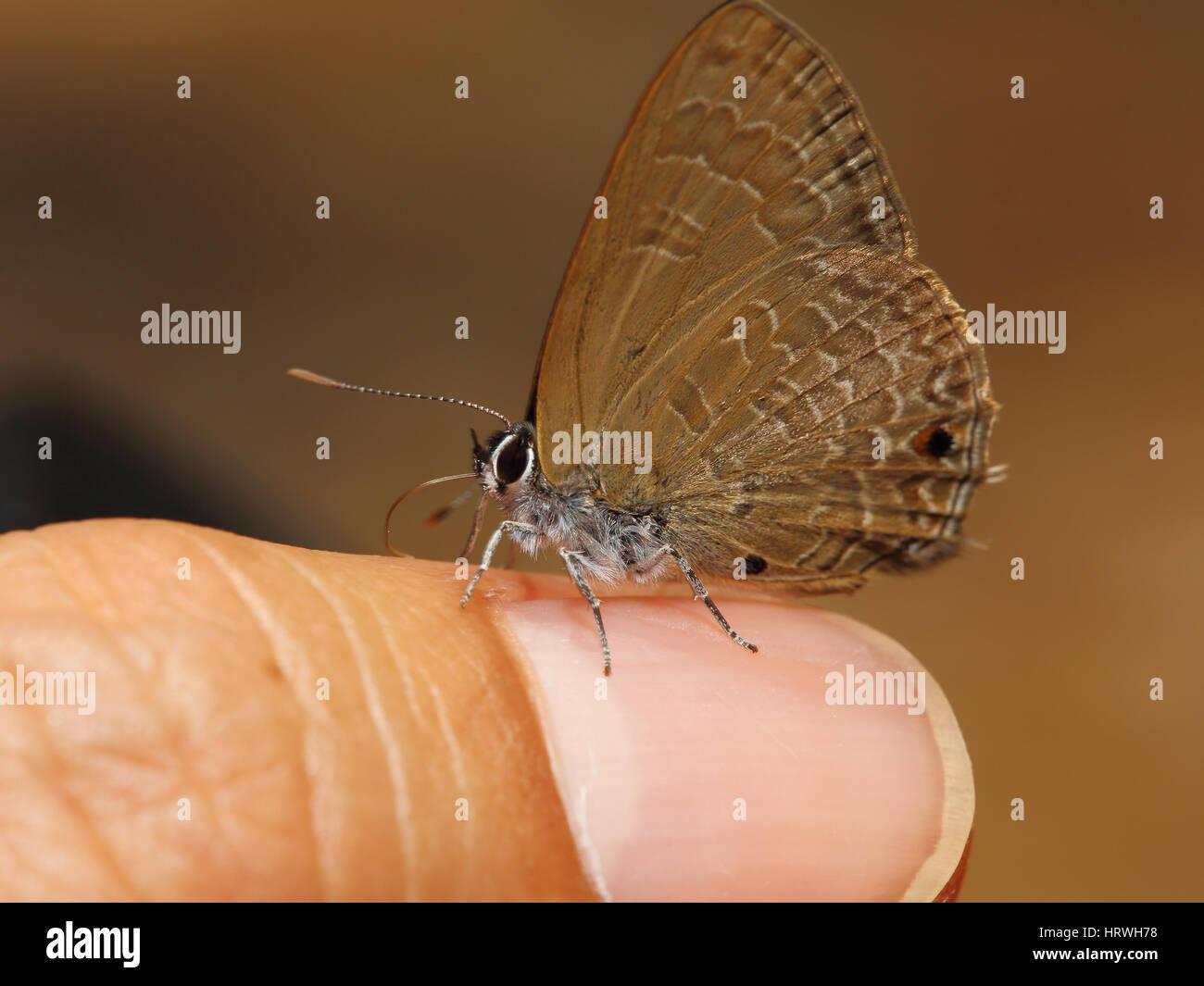 El enfoque selectivo de mariposa marrón en el dedo. Foto de stock