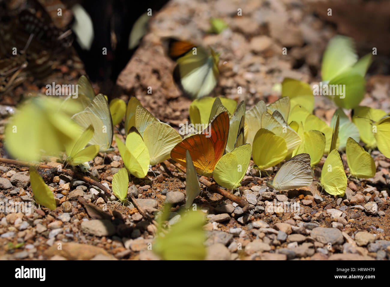 El enfoque selectivo de batterflys amarillo sobre fondo de naturaleza abstracta. Foto de stock
