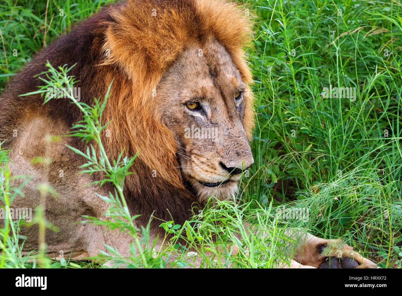 Vertical - Macho de León León de Transvaal (Panthera leo krugeri) también conocido como Southheast león africano, Foto de stock