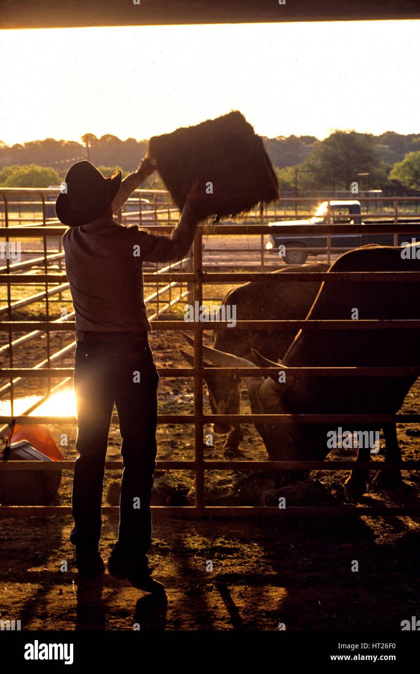 Un coboy coiuple alimentar heno a una de las vacas. Imagen De Stock