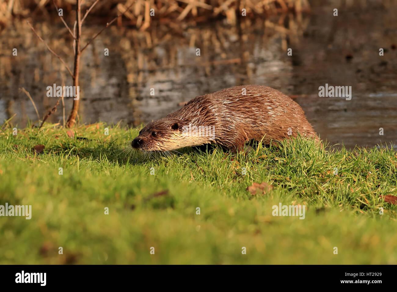 Nutria surgió del estanque sobre la hierba mirando alerta. Foto de stock