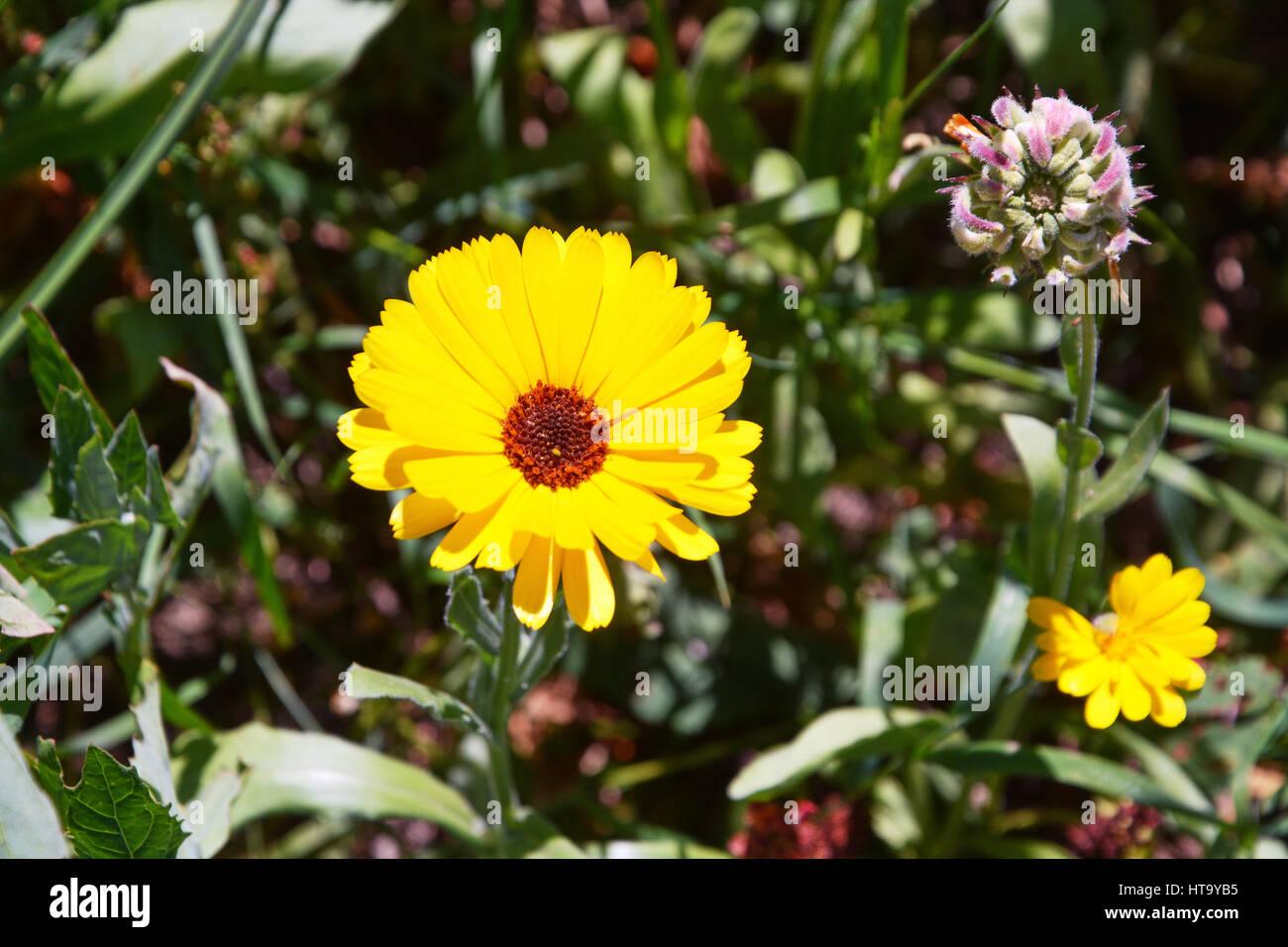 Fleur,gerbera marguerite . Foto de stock