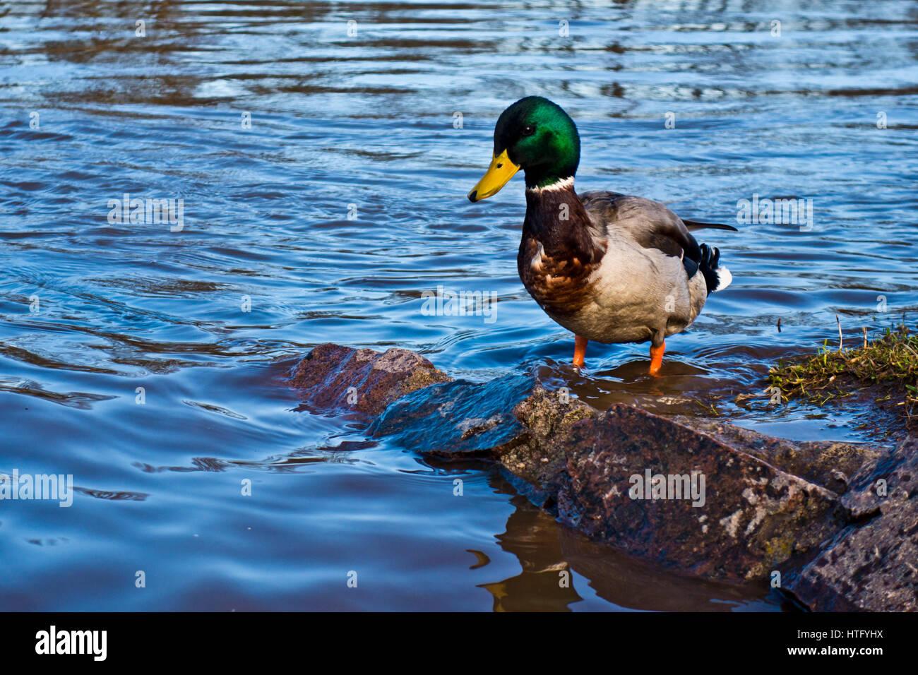 Pato azulón Imagen De Stock