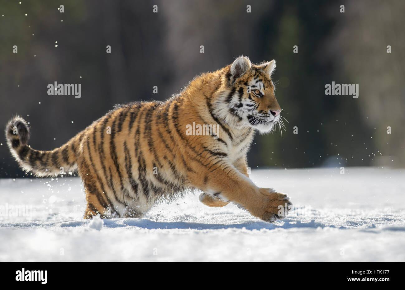Tigre siberiano (Panthera tigris altaica) menores corriendo en la nieve, cautivo, Moravia, República Checa Imagen De Stock