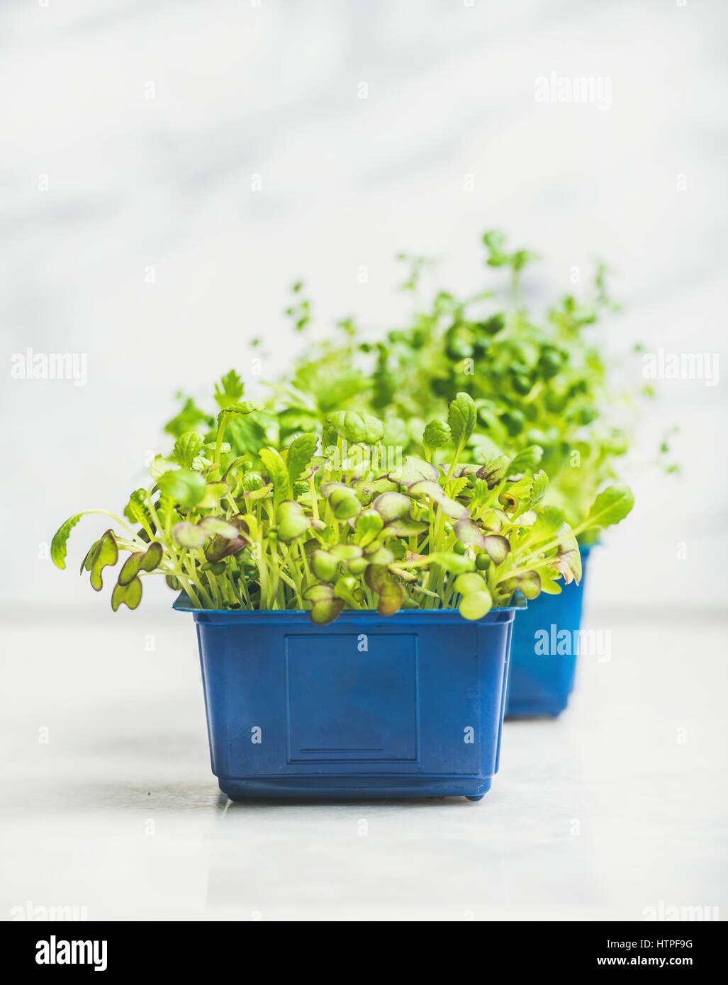 Primavera fresca verde berro rábano vivo brota en macetas de plástico azul sobre fondo de mármol Imagen De Stock