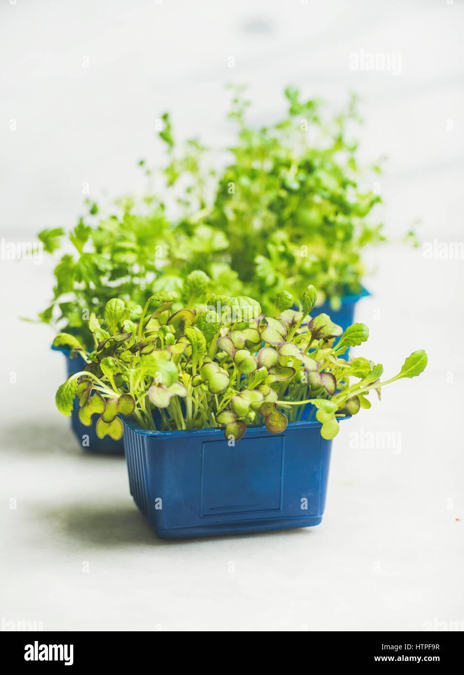 Primavera fresca verde Rábano vivo kress brota en macetas de plástico azul sobre fondo de mármol Imagen De Stock