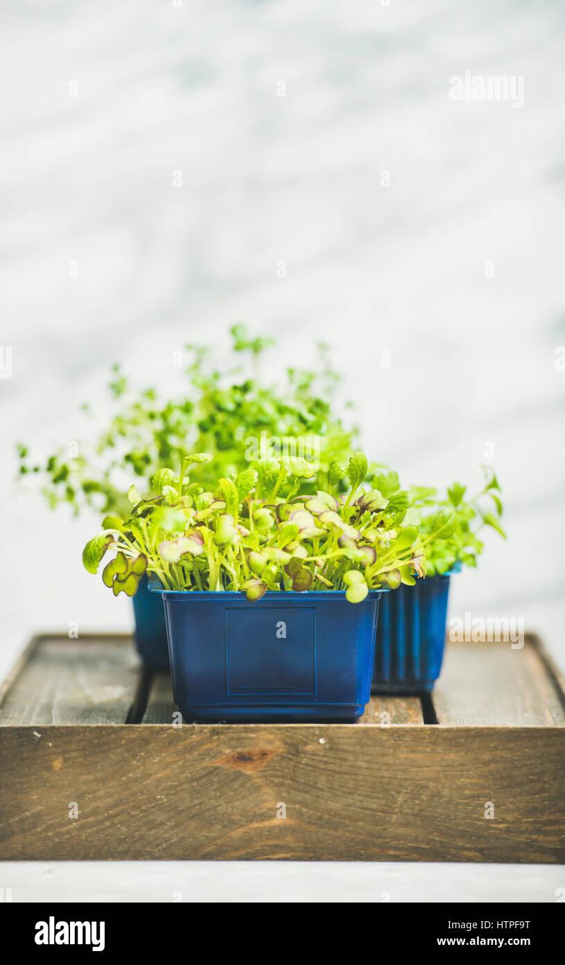 Primavera fresca verde Rábano vivo berro brotes en macetas de plástico en la caja de madera sobre fondo Imagen De Stock
