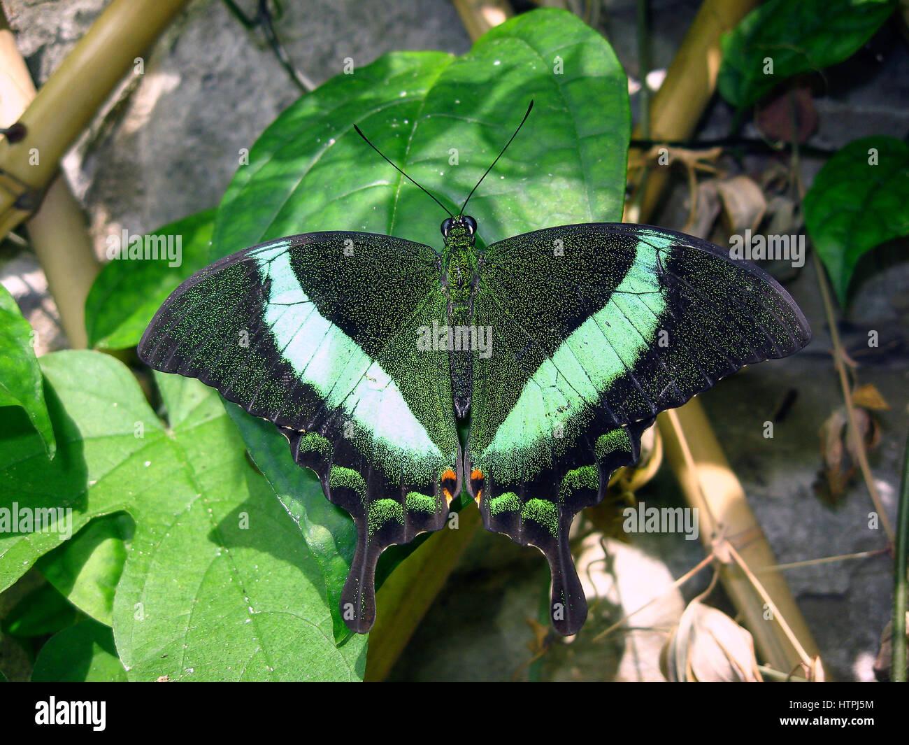 Reino: Animalia Phylum: Arthropoda Class: Insecta Lepidoptera Orden: Familia: Papilionidae Género:Papilio especies Foto de stock