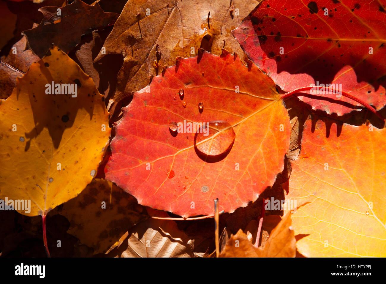Un diente grande rojo aspen leaf (Populus grandidentata) con gotas de agua, tendido en el suelo, en la parte superior Foto de stock